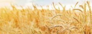 Sin lluvias, se perdería hasta un 30% del rinde de trigo