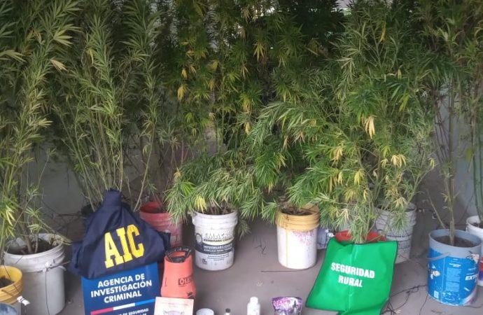 Cultivaban cannabis en el techo de una tapera