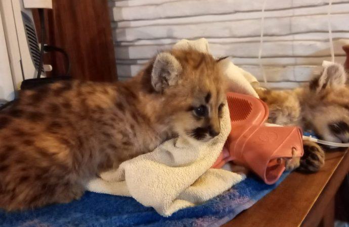 Rescataron dos cachorros de puma en Estación Berreta, una persona habría matado a la madre